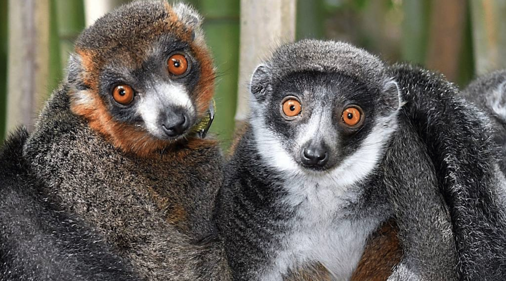male and female mongoose lemurs curled next to each other in a bamboo grove