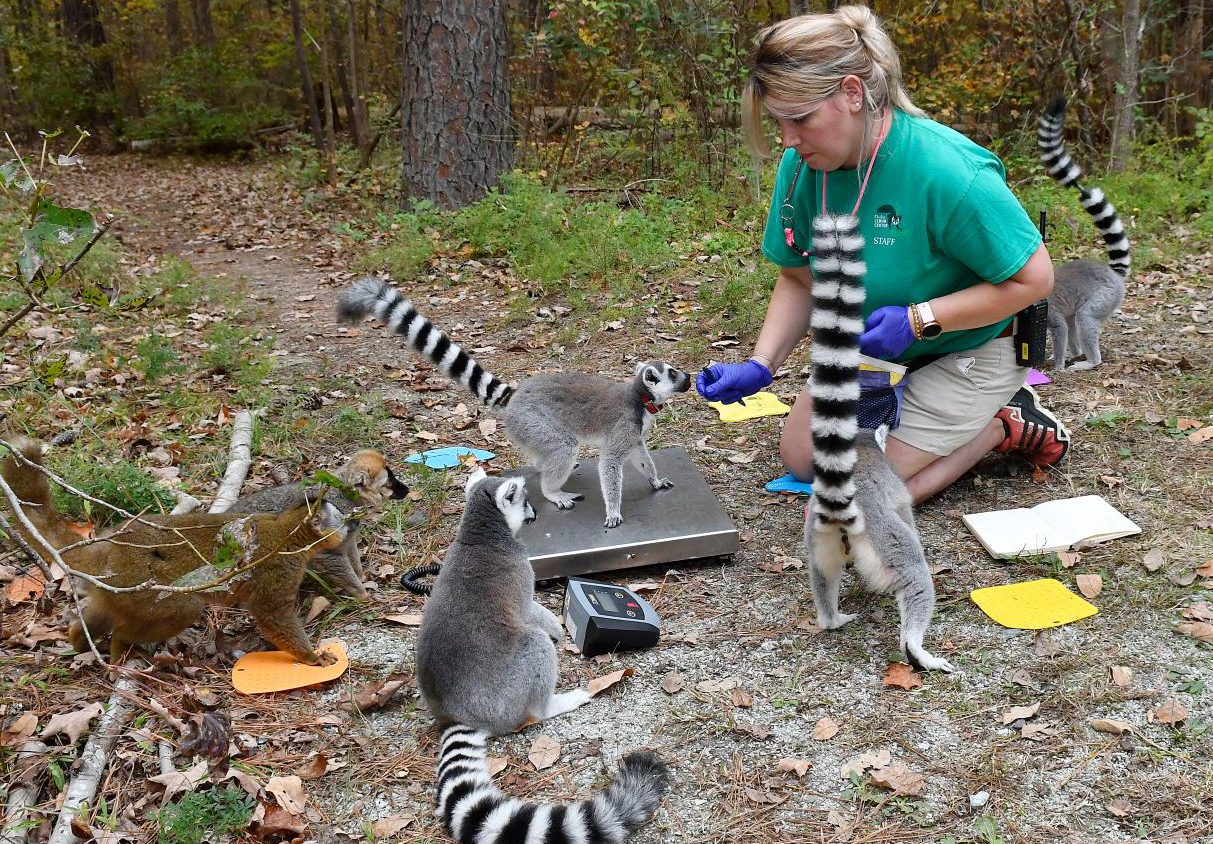 DLC keeper Julie uses positive reinforcement training to teach four ring-tailed lemurs to voluntarily stand on a scale