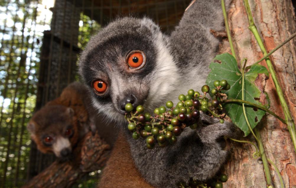 A female mongoose lemur nibbles fresh browse