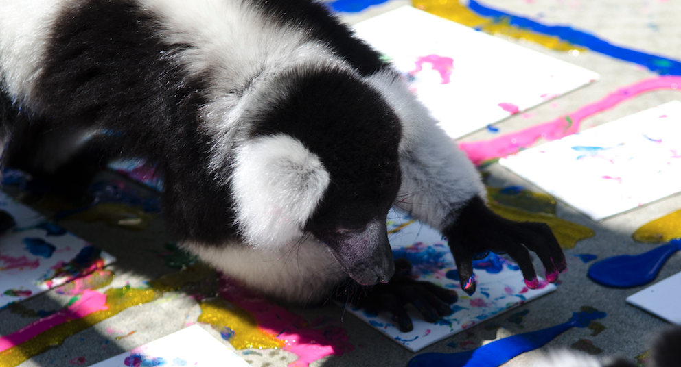 A ruffed lemur during a Painting with Lemurs project