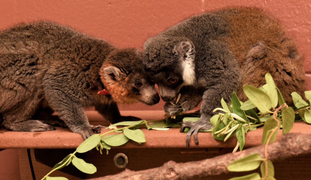 Two mongoose lemurs touch their heads together.
