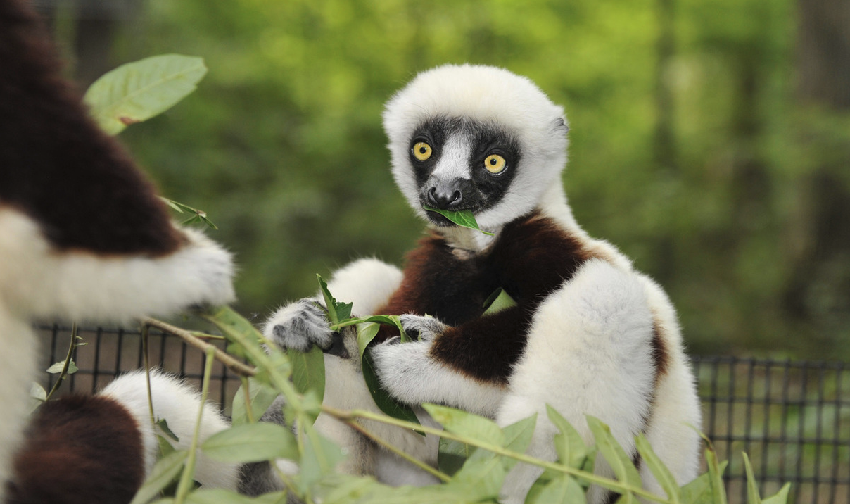 A juvenile sifaka eats sumac leaves in the forest at the DLC