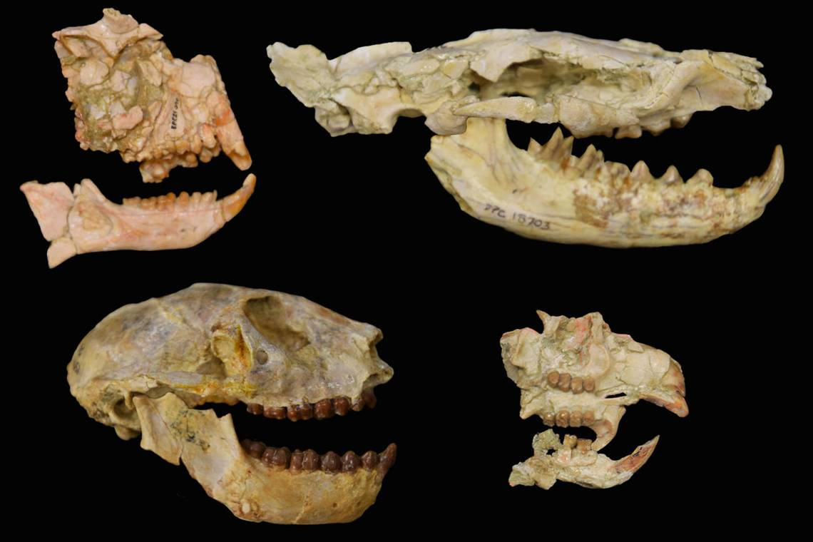 Four fossil skulls in profile against a black background